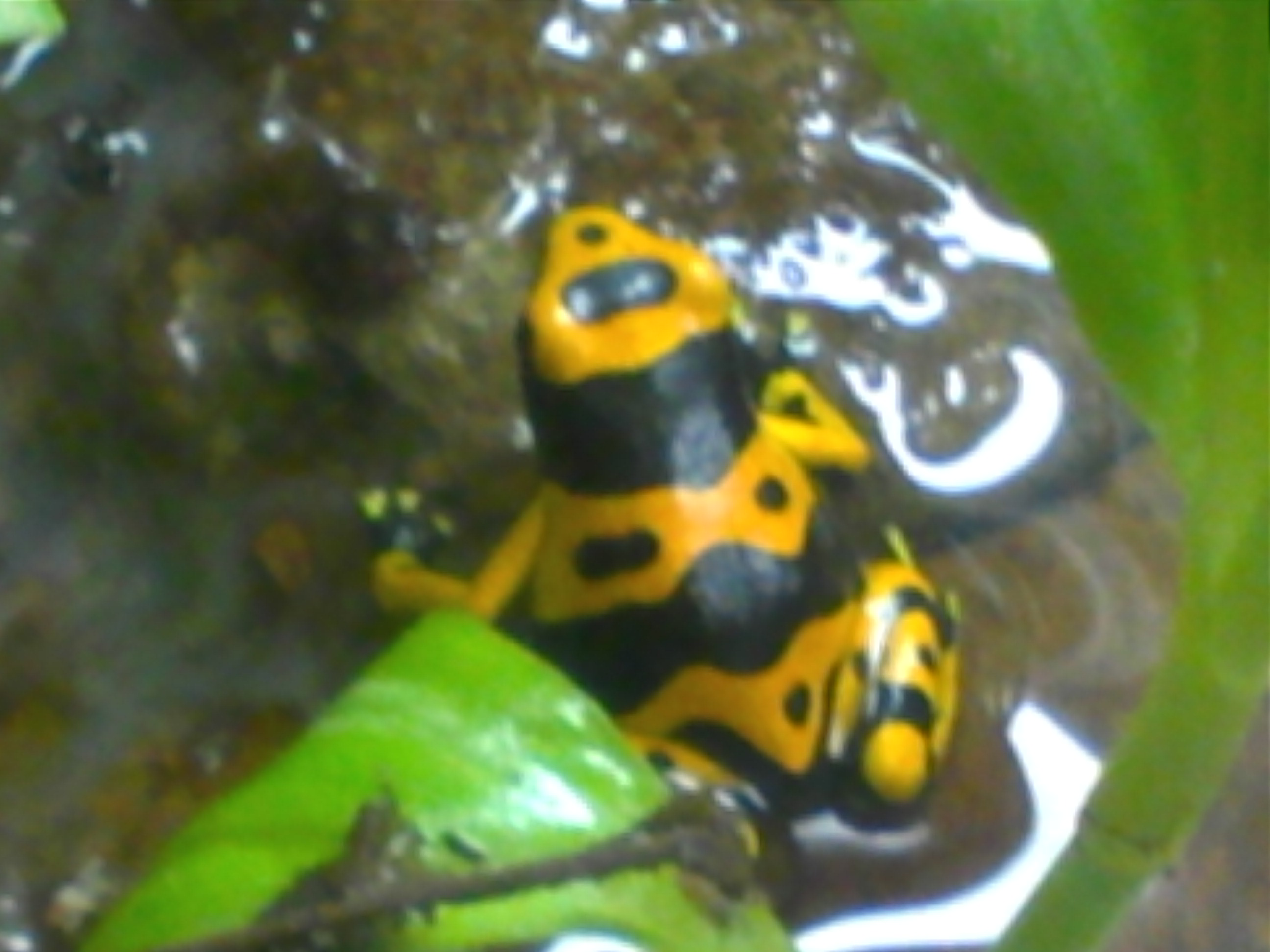 2 Month old Leuc froglet